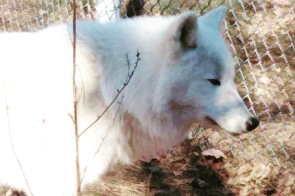 A white wolf inside the Arcturos Wolf Sanctuary in Agrapidies of Nymfaio.