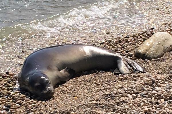 The Mediterranean monk seal (Monachus Monachus) lying on a pebble beach.