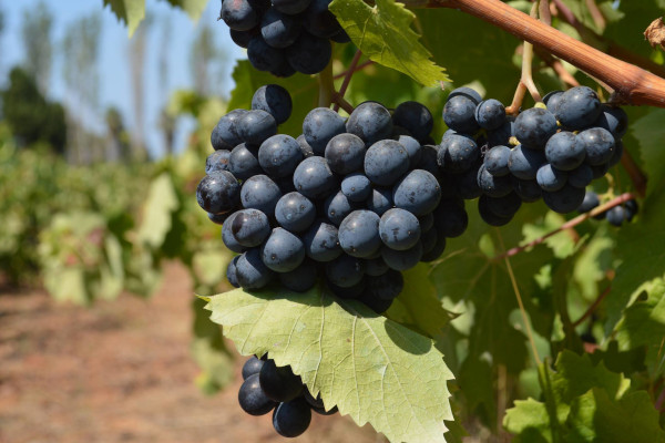 A close up picture of a bunch of grapes in the vineyard.