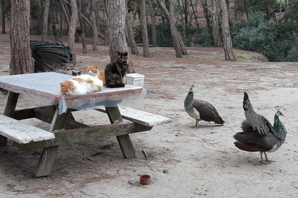 Some cats lying on a table and the domesticated peacocks in the Plaka Forest of Kos.