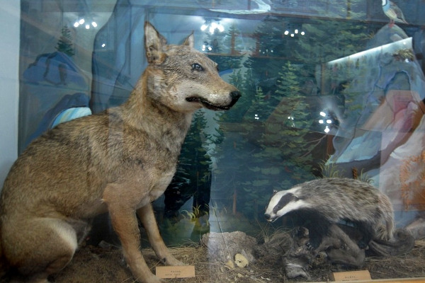 Mummified wolf and badger in a display of Oiti Natural History Museum.