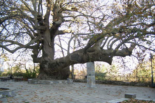 The old platanus tree in the central square of Tsagkarada.