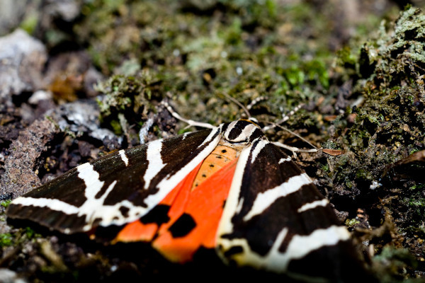 A close up photo of a butterfly in the Butterflies Valley Park of Rhodos.