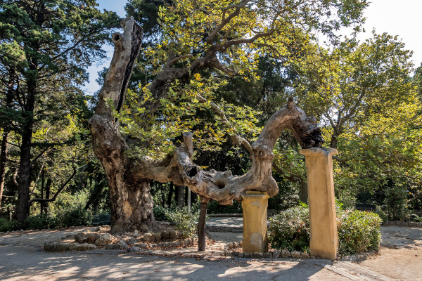 A centuries-old plane tree at Rodini park in the city of Rhodos.