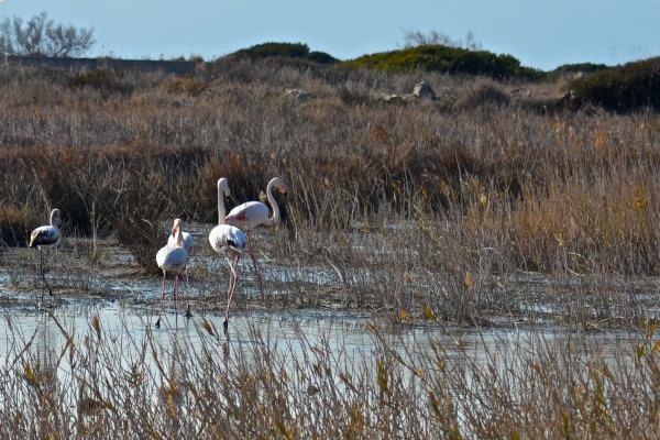 Flamingos and other wild birds on a picture taken at the Wetlands of Aliki on Samos Island.