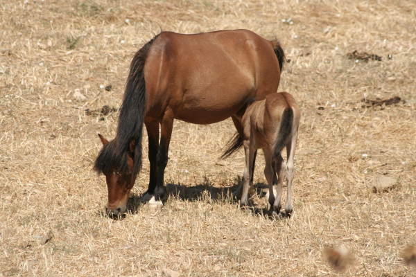 Mare and foal (mother and baby) are grazing. They are brown and have black mane.