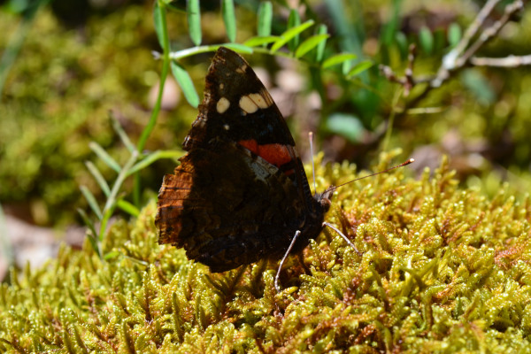 A close up picture of a butterfly sitting on green vegetation.